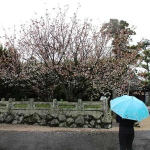 白子不断桜【アクセス・駐車場・御朱印】秋から春に咲く名桜