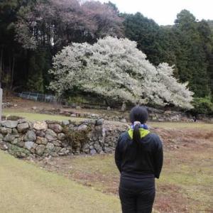 岩戸桜~樹齢360年~家建の茶屋跡オオシマザクラ【アクセス・駐車場】
