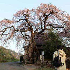 西光寺の城之山桜【アクセス・駐車場】樹齢400年の一本桜