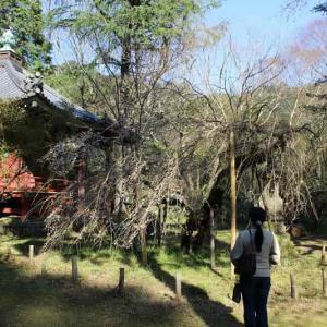 高貴寺の臥龍桜~樹齢200年の一本桜【アクセス・駐車場】