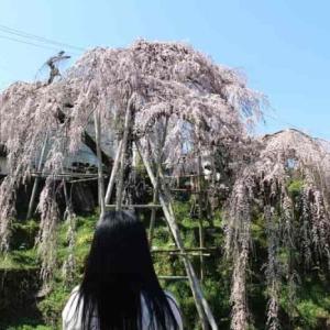 若樫の百滝桜【アクセス・駐車場】大阪随一のしだれ桜