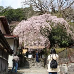 来迎院のしだれ桜【アクセス・駐車場】奈良県天川村の名桜