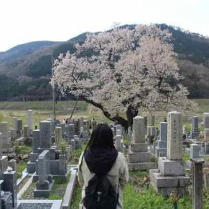 清水の桜【アクセス・駐車場】滋賀県下最大級の一本桜