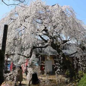 地福寺・子安地蔵尊【アクセス・駐車場】大阪屈指のしだれ桜