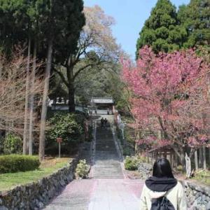 酒波寺の行基桜【アクセス・駐車場】樹齢500年以上の一本桜