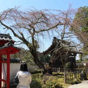 高月院のしだれ桜~家康公御手植の樹齢450年の名桜