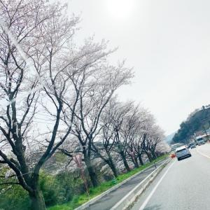 *こんな時でも桜の季節*