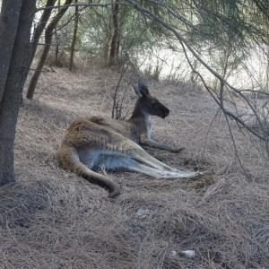 【パース】オーストラリア7日目~野生のカンガルー発見!~