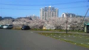 桜咲く (チビの思い出)