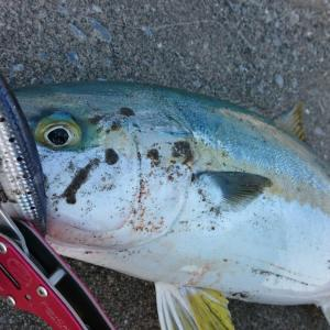 八戸近郊、岩手沿岸限定。『今』釣れる魚が簡単に分かる情報源2選