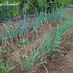 畑のトマトにカブトムシ!&長ネギの追肥と土寄せ(`・ω・´)シャキーン