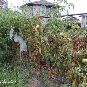 いつまで採れる?今年の水平仕立ての大玉トマト(@^▽^@) わーい