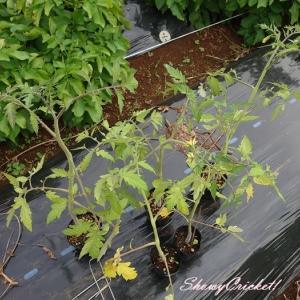 雨が止んだので慌てて大玉トマト麗夏、定植ε=ε=┌(;-.-)┘