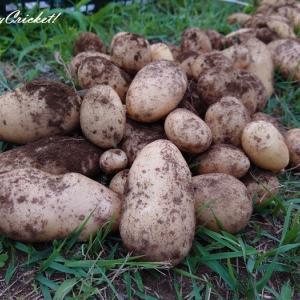 収穫量が1.6倍!ジャガイモの深植えはやっぱりすごかったm)゚O゚'(m ヒャ~