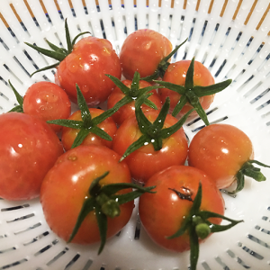 尻腐れ症を克服。濃厚なミニトマトができました♪