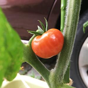 ミニトマト色づいてまいりました。