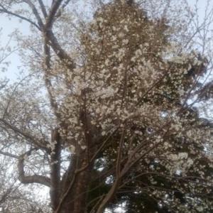 桜が咲き始めてきたら・・・