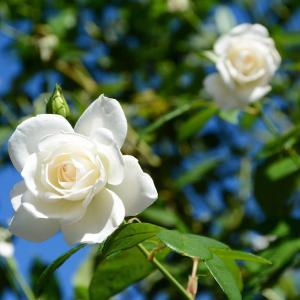 白いバラ(10/15 e)