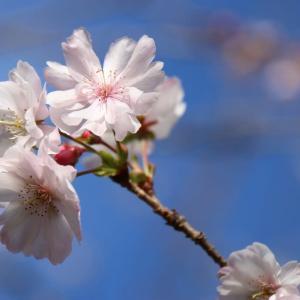 十月桜(11/21 n)