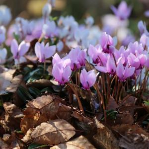 シクラメンは冬の花(12/1 n)