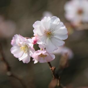十月桜🌸(12/5n)