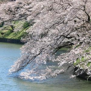 千鳥ヶ淵の春(4/2 m)