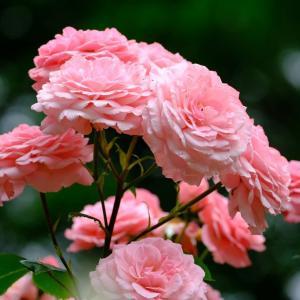北公園のバラ(6/25 n)