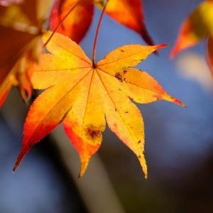 モミジの葉(11/27 n)