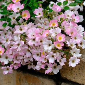 壁に咲いていたバラ(6/16 n)
