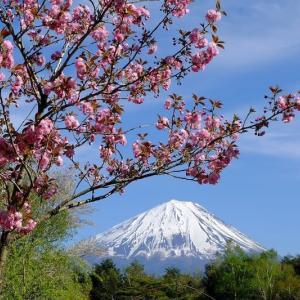 富士と桜(6/17 e)