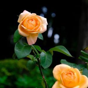 北公園のバラ(6/18 n)