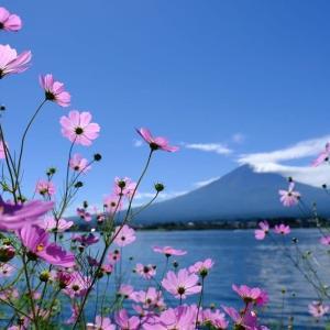 コスモスと富士山(9/24 e)