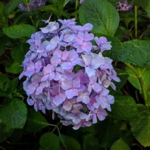 雨には紫陽花がよく似合う(福岡市社交ダンススタジオ・ダンススクールライジングスタースタッフより)