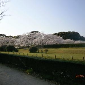 ■ 太宰府政庁跡の桜、宴会のない、静かな空間のさくらは、品よく、きれい。