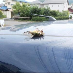 昼食前に一服しておりますと、車の屋根にセミが仰向けに…
