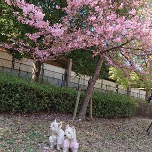 河津桜さん🌸を見に行こう🐾🌸🌸