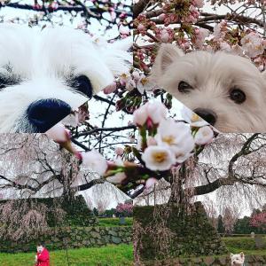2020🌸大好きな滝桜🌸🌸🌸又兵衛桜🌸🌸🌸
