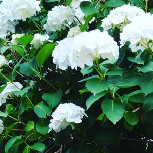 真っ白な💟紫陽花さん💟