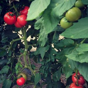 完熟🍅🍅収穫に🐰🐰💞