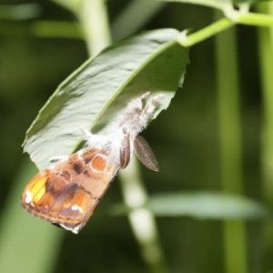 モフモフの可愛い蛾