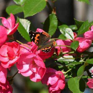 庭の蝶と公園の蝶