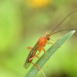 昆虫撮影 (アメバチ科)