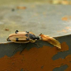 昆虫撮影 (甲虫)