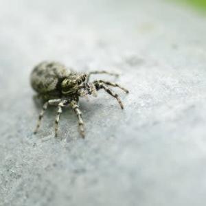 ハエトリクモと黒いクモ