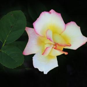 秋薔薇が咲き出す