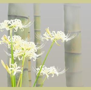 竹林に白の曼殊沙華