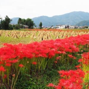 赤い畦道・彼岸花(京都・亀岡)1