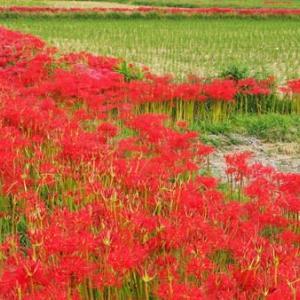 赤い畦道・彼岸花(京都・亀岡)2
