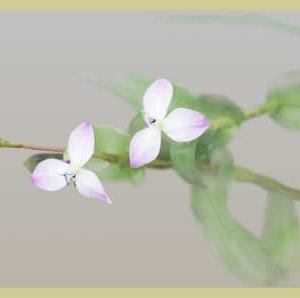 三枚の花びら・イボ草