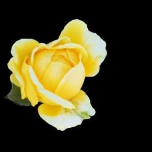 今年の秋薔薇はキレイ